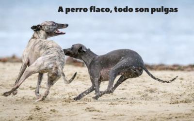 A perro flaco, todo son pulgas